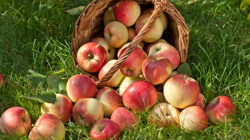 apple-picking-thinkstock